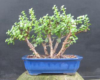 Portulacaria afra, Dwarf Jade,  the Elephant's Food, Spekboom
